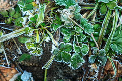 Strawberry leaves covered hoarfrost. Stock Images