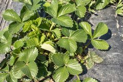 Strawberry leaves on the field. Strawberries grow on the field in rows royalty free stock photos