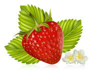 Strawberry with leaves and flowers. Photorealistic  illustration. Strawberry with leaves and flowers Royalty Free Stock Photo