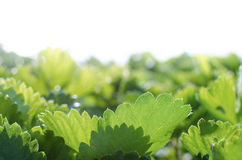 Strawberry leaves Stock Photos