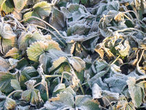 Strawberry Leaves with Hoarfrost Royalty Free Stock Images