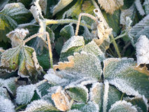 Strawberry Leaves with Hoarfrost Stock Photos