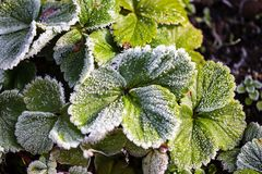 Strawberry leaves in the icy autumn. In the garden Stock Photography