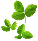 Strawberry leaves isolated on the white background.  royalty free stock photography