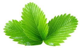 Strawberry leaves isolated on the white background.  stock photos