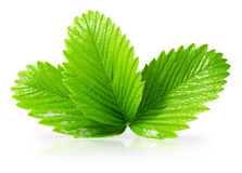 Strawberry leaves isolated on the white background.  stock photography