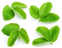 Strawberry leaves isolated on white. Background stock image