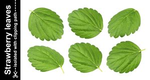 Strawberry leaves isolated on white background with clipping path. Collection stock photos