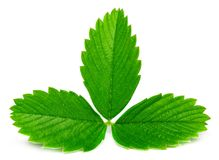 Strawberry leaves isolated on white background, close up.  stock images