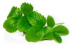 Strawberry leaves isolated on white background, close up.  royalty free stock images
