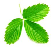 Strawberry leaves isolated on white background, close up.  stock photography