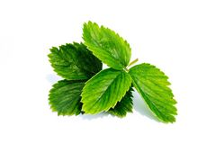 Strawberry leaves isolated on white background. Strawberry leaves isolated white background royalty free stock images