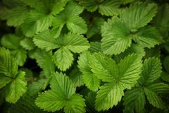 Strawberry leaves green texture Stock Photos