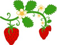 Strawberry with leaves ,stem and flowers stock images