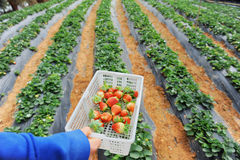 Strawberry lie in hands Stock Photos