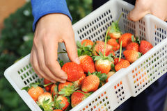 Strawberry lie in hands Stock Photography