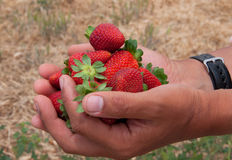 Strawberry lie in hands Royalty Free Stock Images