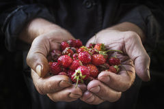 Strawberry lie in male hands Stock Images