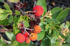 Strawberry like fruits of Arbutus unedo, Strawberry tree. Small evergreen tree with green serrated leaves, bell shaped flowers in hanging clusters and Royalty Free Stock Photos