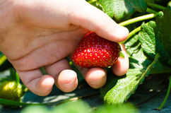Strawberry in a little hand Stock Images