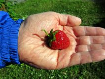 Strawberry in Man's Hand. Man holding a ripe strawberry in the palm of his hand Royalty Free Stock Photos