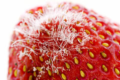 Strawberry with Mildew. Mellow strawberry with white mildew as closeup on white background Stock Image