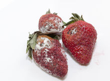 Strawberry with mold. Photographed red ripe strawberries, covered with white mold, spoiled strawberries closeup royalty free stock photos