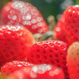Strawberry with morning dew. Strawberry fruits with morning dew on the highest mountain in Thailand stock images