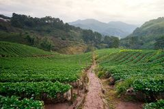 Strawberry Morning Doi Angkhang Royalty Free Stock Images