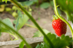 Strawberry. The most tasty and fragrant berry. Healthy food and vitamins Stock Image