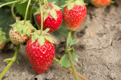 Strawberry. The most tasty and fragrant berry. Healthy food and vitamins Stock Photos