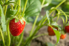 Strawberry. The most tasty and fragrant berry. Healthy food and vitamins Stock Images