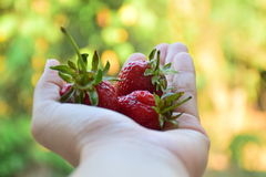 3 strawberry in my hand. Stock Photos