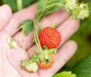 Strawberry in nature. macro . In the park in nature Stock Photo