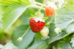 Strawberry in nature. macro. In the park in nature Royalty Free Stock Photo
