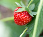 Strawberry in nature. macro. In the park in nature Stock Image