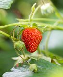 Strawberry in nature. macro. In the park in nature Royalty Free Stock Photos