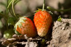 Strawberry in nature. macro. In the park in nature Stock Photo