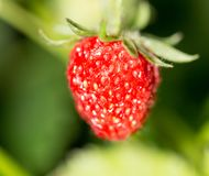 Strawberry in nature. macro. In the park in nature Royalty Free Stock Photography
