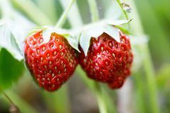 Strawberry in nature. macro. In the park in nature Royalty Free Stock Images