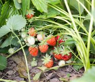Strawberry in nature. macro. In the park in nature Royalty Free Stock Image