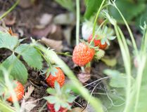Strawberry in nature. macro. In the park in nature Stock Photos