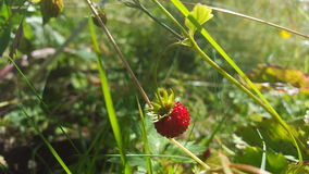 Strawberry nature wallpaper. Finland green forest Royalty Free Stock Image