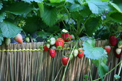Strawberry non toxic. / Planting strawberries berries Royalty Free Stock Photos