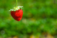 Strawberry north chiangmai thailand Royalty Free Stock Image