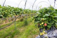 Strawberry nursery Stock Image