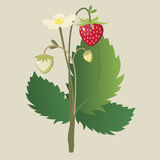 Wild strawberry ordinary with a flower and ripe be Royalty Free Stock Image