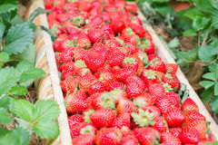 Strawberry Organic. Fresh from the farm to the health of consumers stock image