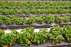 Strawberry patch -2 Stock Photo