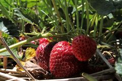 Strawberry Patch. Strawberries hiding under the leaves in the patch Stock Image